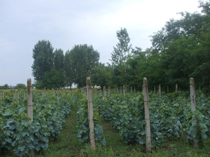 Vignes. Photos.  Culture, entretien, variétés, travaux. Vigne_10
