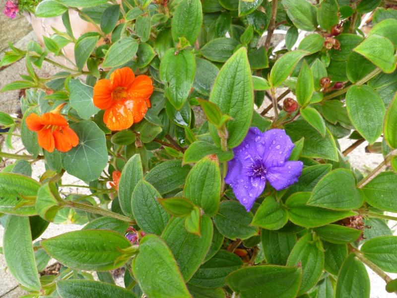 Floraisons du mois de juillet 00117