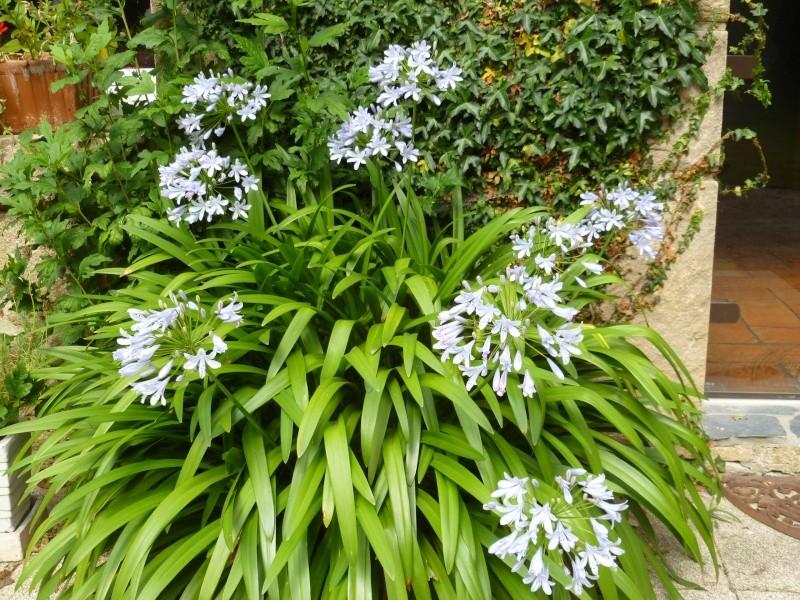 Floraisons du mois d'Août 00131