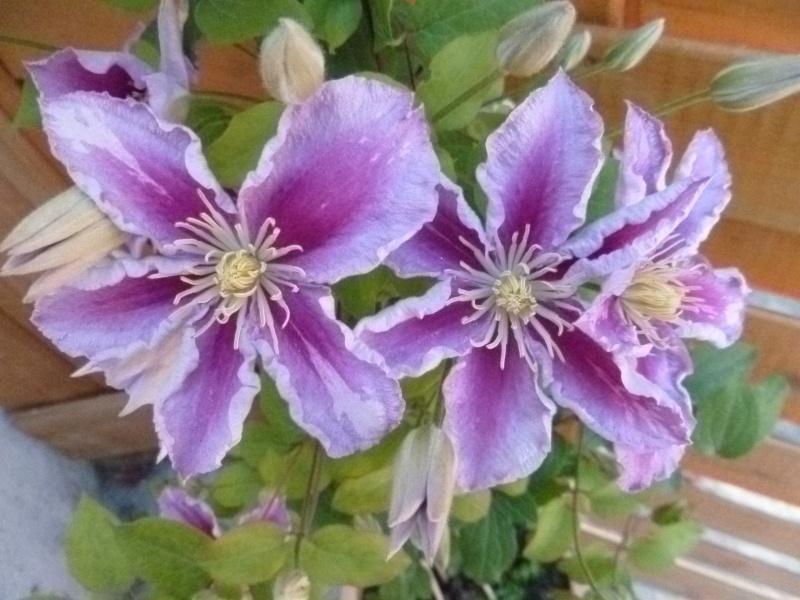 Floraisons du mois de juillet 00211