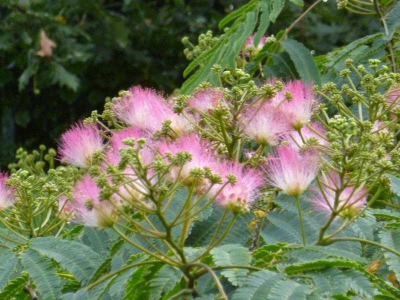 Floraisons du mois d'Août 00523