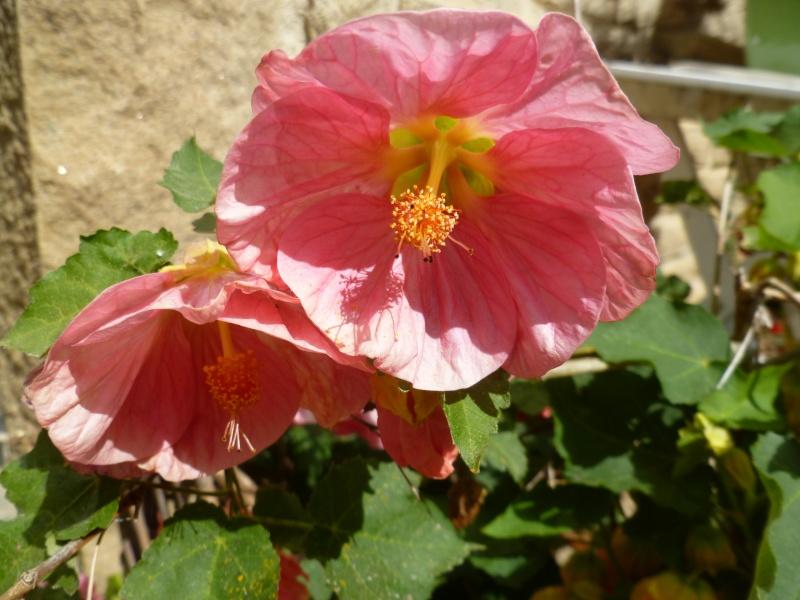 Floraisons du mois de juillet 00710
