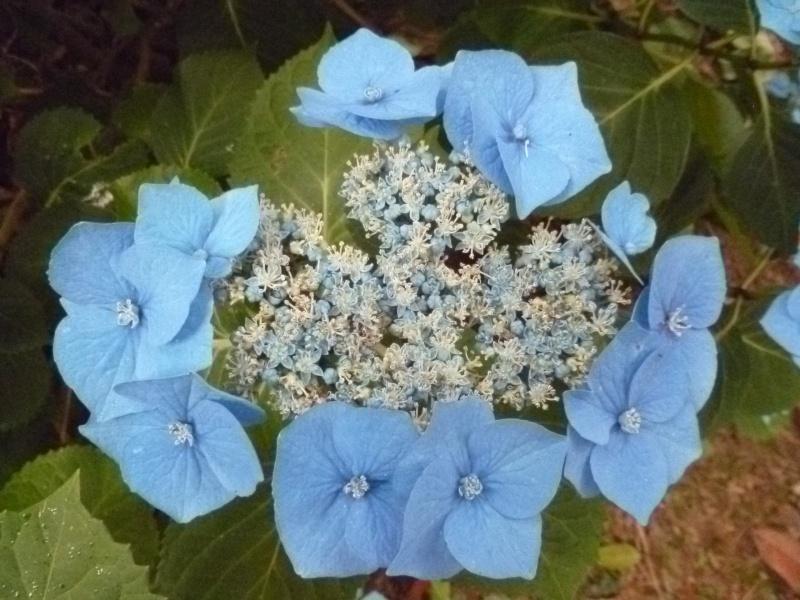 Floraisons du mois de juillet 00711