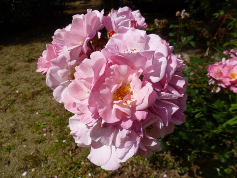 Floraisons du mois de juillet 00810