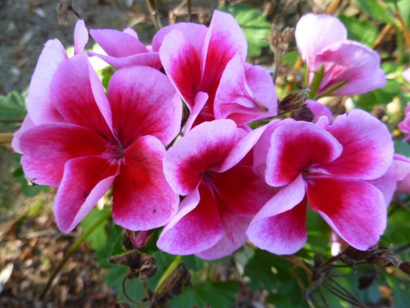floraisons d'octobre - Page 5 00814
