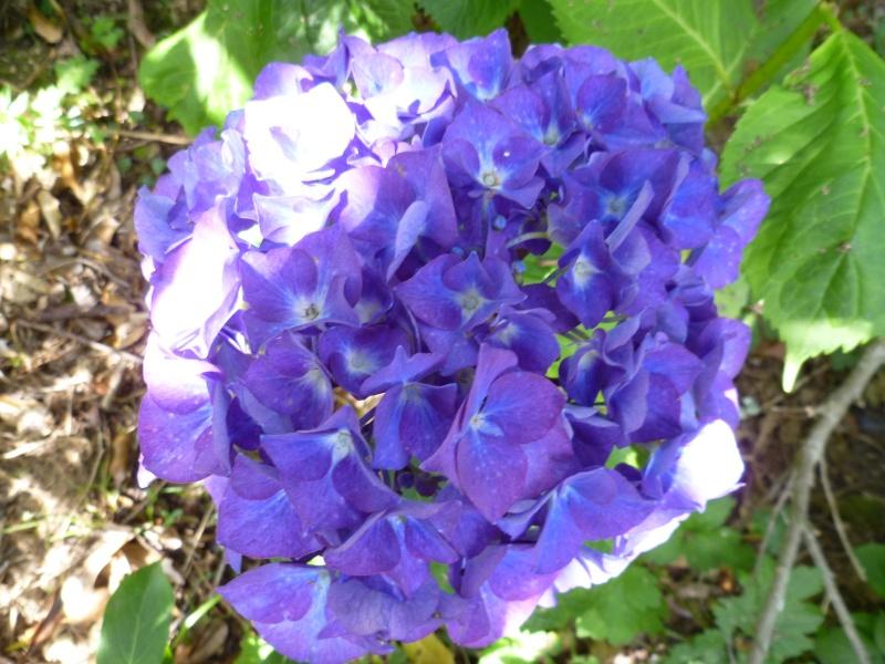Floraisons du mois de juillet 00911