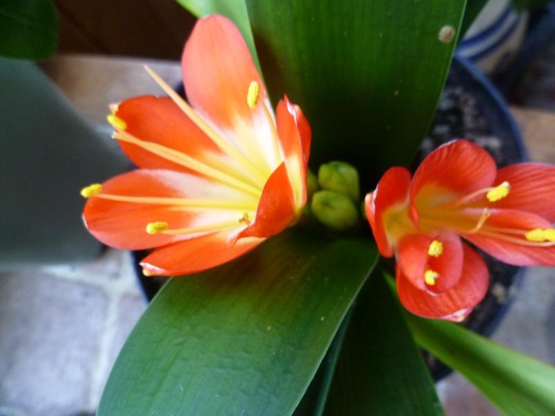 Floraisons d'intérieur  01117
