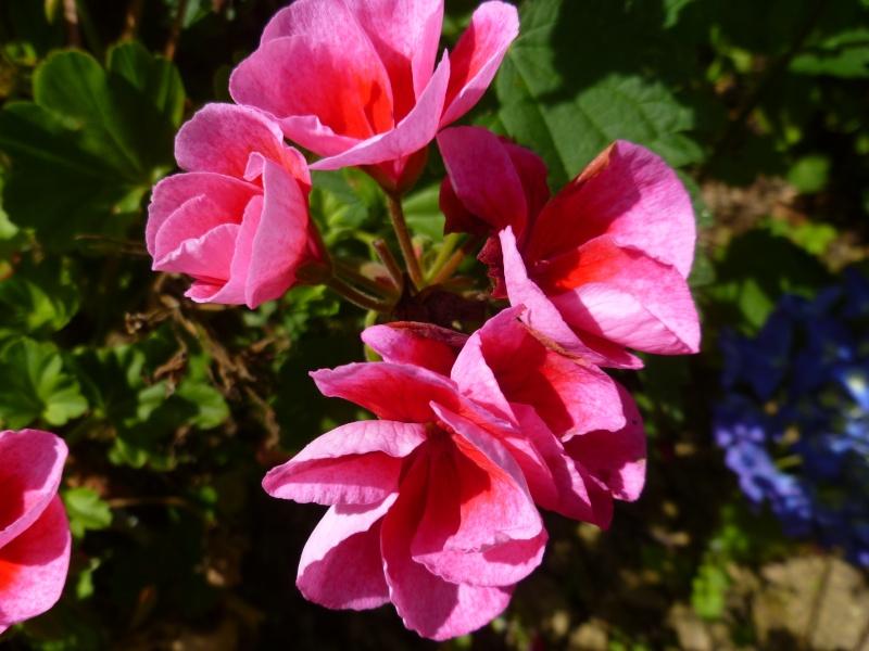 Floraisons du mois de juillet 01212