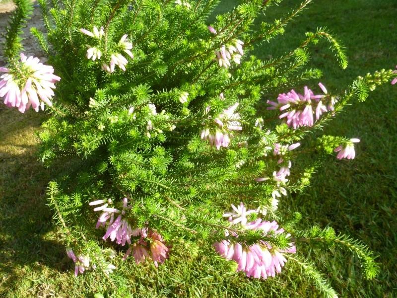 floraisons d'octobre - Page 5 01216