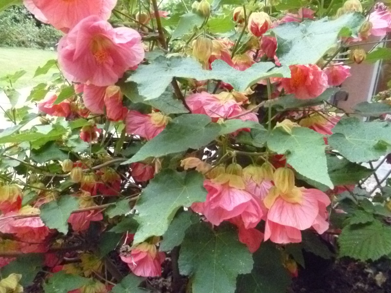 Floraisons du mois de juillet 01512