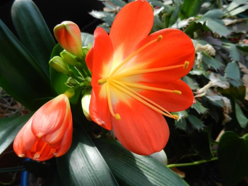 Floraisons d'intérieur  Clivia12