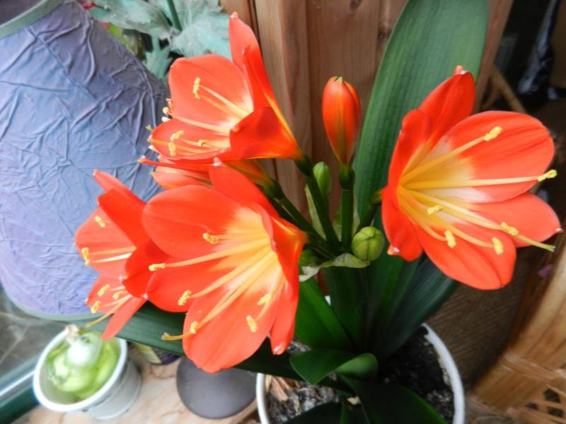 Floraisons d'intérieur  - Page 2 Clivia13