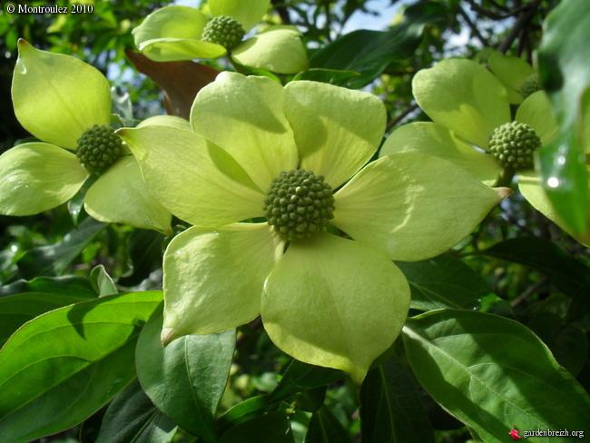 Cornus capitata - Grand arbuste décoratif pour son feuillage, sa floraison Cornus20