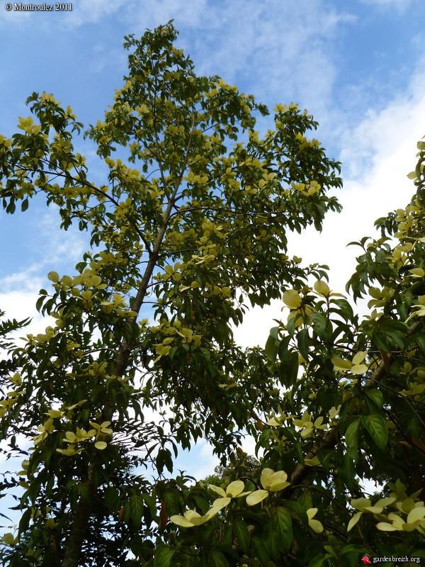 Cornus capitata - Grand arbuste décoratif pour son feuillage, sa floraison Cornus21