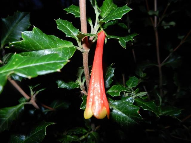Desfontainia spinosa Desfon12