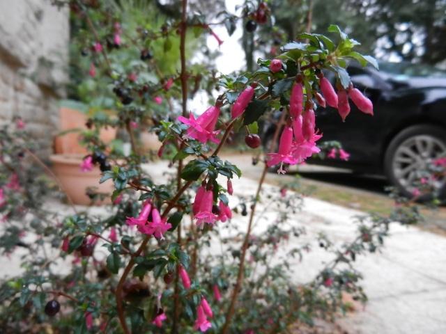 Fuchsia microphylla Fuschi12