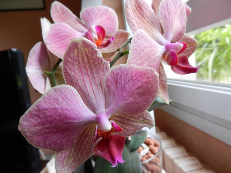 Floraisons d'intérieur  - Page 2 Phalae16