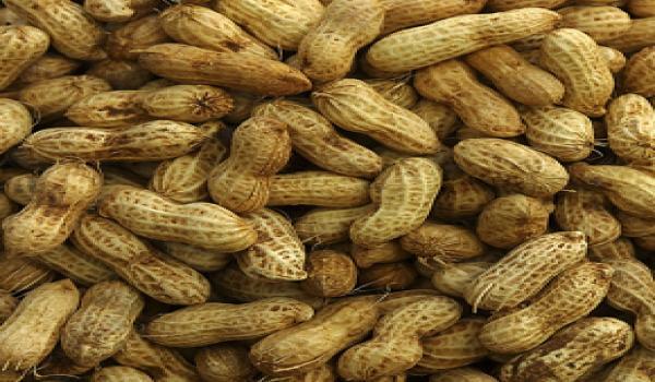 زراعة الفول السوداني ( الفستق ) Fol_5710