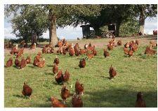 Ein Hühnerleben Britis10