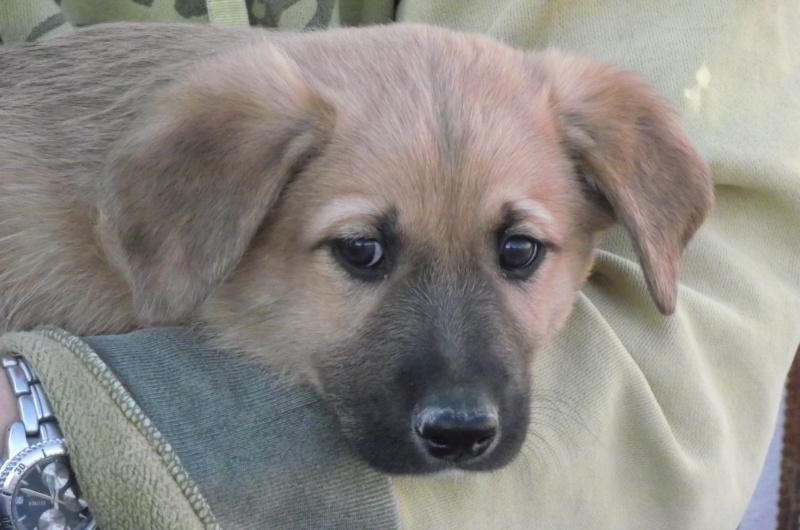 Mastin-x Puppy needs home Dscf2310