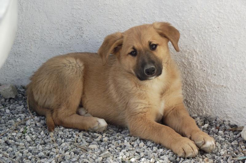 Mastin-x Puppy needs home Dscf2410