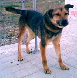 Golfo. Dog missing in the Benamaurel area.  Golfo10
