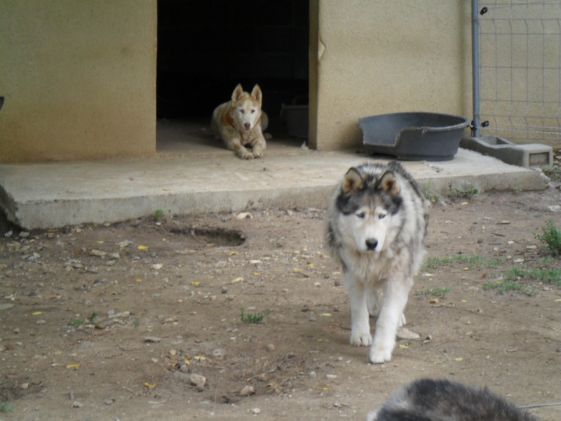 OUKIOK Superbe! malamute x husky (m) 13ans asso Eden Valley (26)DECEDE Kork_e10