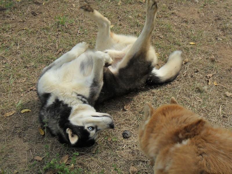 Togo, husky gris né le 25 Octobre 2002 ASSO39 Le_6_s11