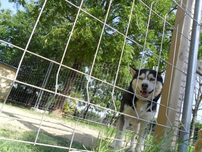 Togo, husky gris né le 25 Octobre 2002 ASSO39 Notre_10