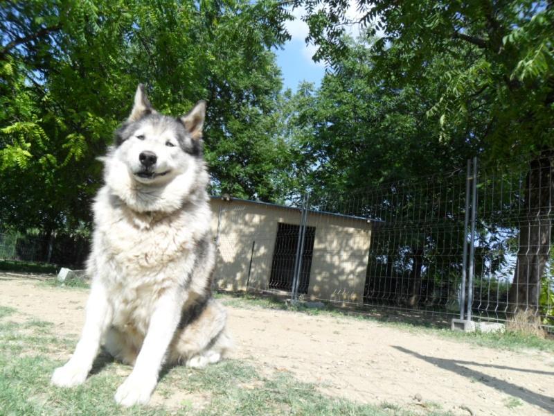 OUKIOK Superbe! malamute x husky (m) 13ans asso Eden Valley (26)DECEDE Oukiok13