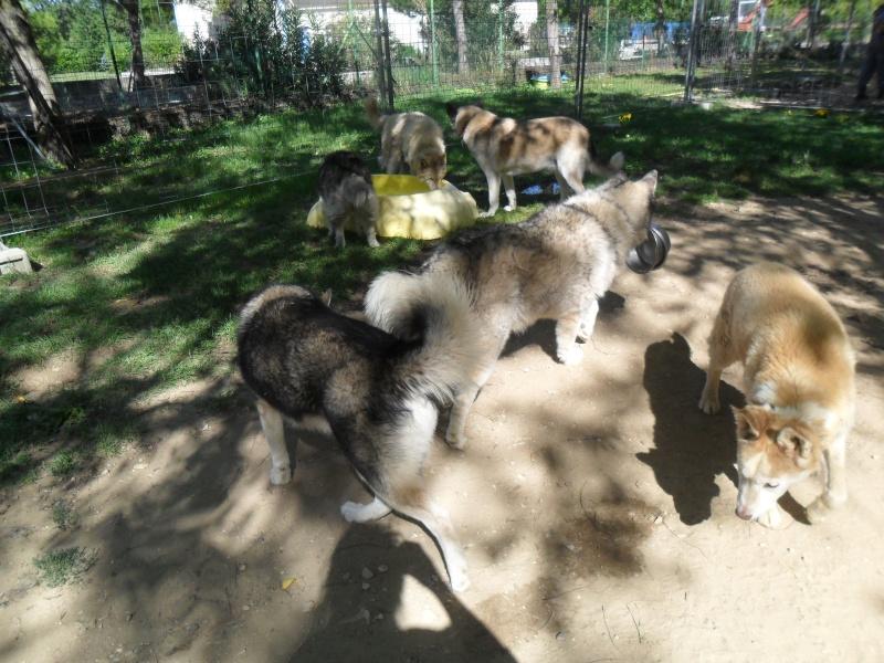 OUKIOK Superbe! malamute x husky (m) 13ans asso Eden Valley (26)DECEDE Oukiok15