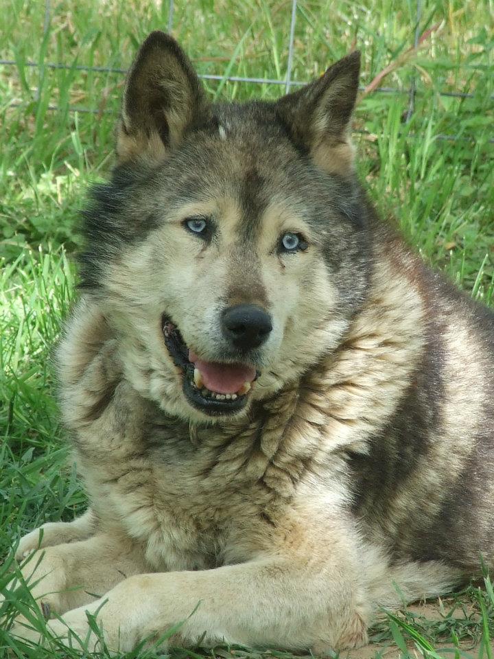 LUCKY Husky 16 ans et demi ASSO65  DECEDE - Page 2 Portra14