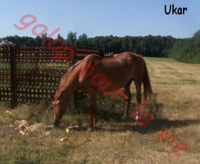 UKAR - ONC selle né en 1986 - accueilli en novembre 2011 chez Pech Petit 10071610
