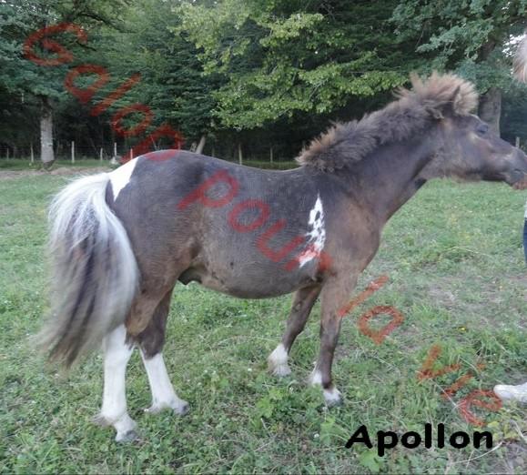 APOLLON - ONC poney né en 2010 - adopté en novembre 2011 Apollo10