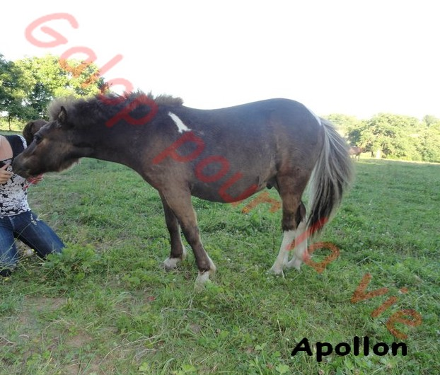 APOLLON - ONC poney né en 2010 - adopté en novembre 2011 Appolo10