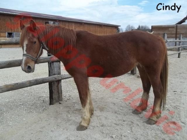 CINDY - Franches Montagnes née en 1994 - adoptée en juin 2012  Cindy_10