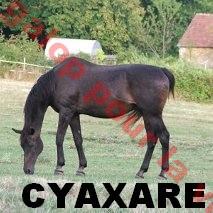 CYAXARE né en 1988 - placé hors association Citiar11