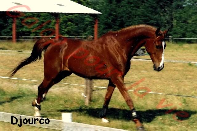 DJOURCO - PSAR Hongre né en 1996 - annoncée désactivée en l'absence de réponse du propriétaire  Djourc11