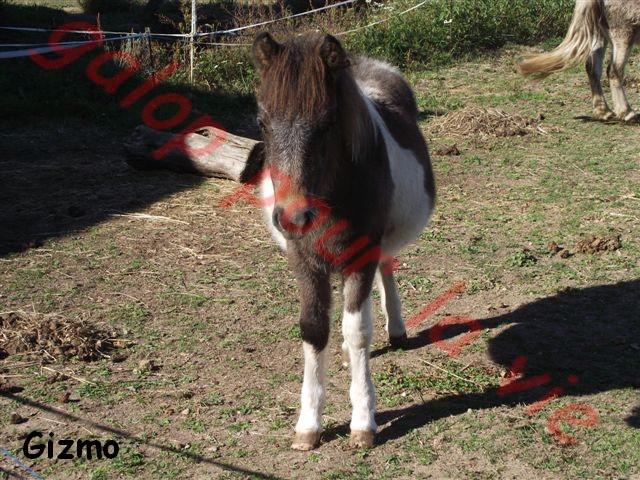 GUIZMO - Shetland  né en 2011 - Adopté en décembre 2011 par jennyetdiego Dscf2710