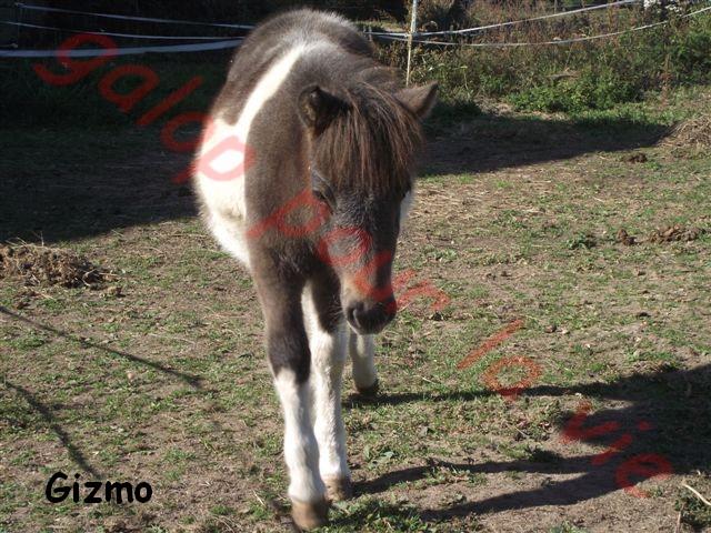 GUIZMO - Shetland  né en 2011 - Adopté en décembre 2011 par jennyetdiego Dscf2712