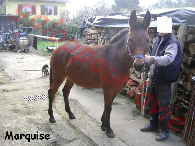 MARQUISE - Mule née en 2003 - Adoptée en décembre 2011 par Poons'7 Marqui10