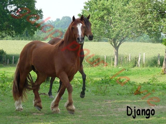 Django -x welsh cob - placé hors forum P1020610