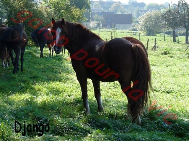 Django -x welsh cob - placé hors forum P1090510