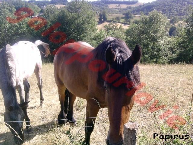 PAPYRUS - Trait Breton X Frison né en 2003 - Placé hors association Papyru11