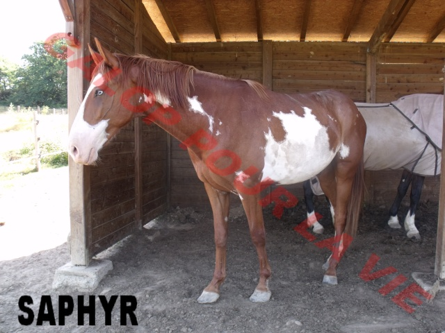 SAPHYR  - ONC né en 2006 - placé hors association Saphir11