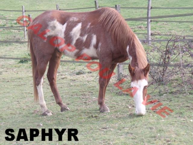 SAPHYR  - ONC né en 2006 - placé hors association Saphir13