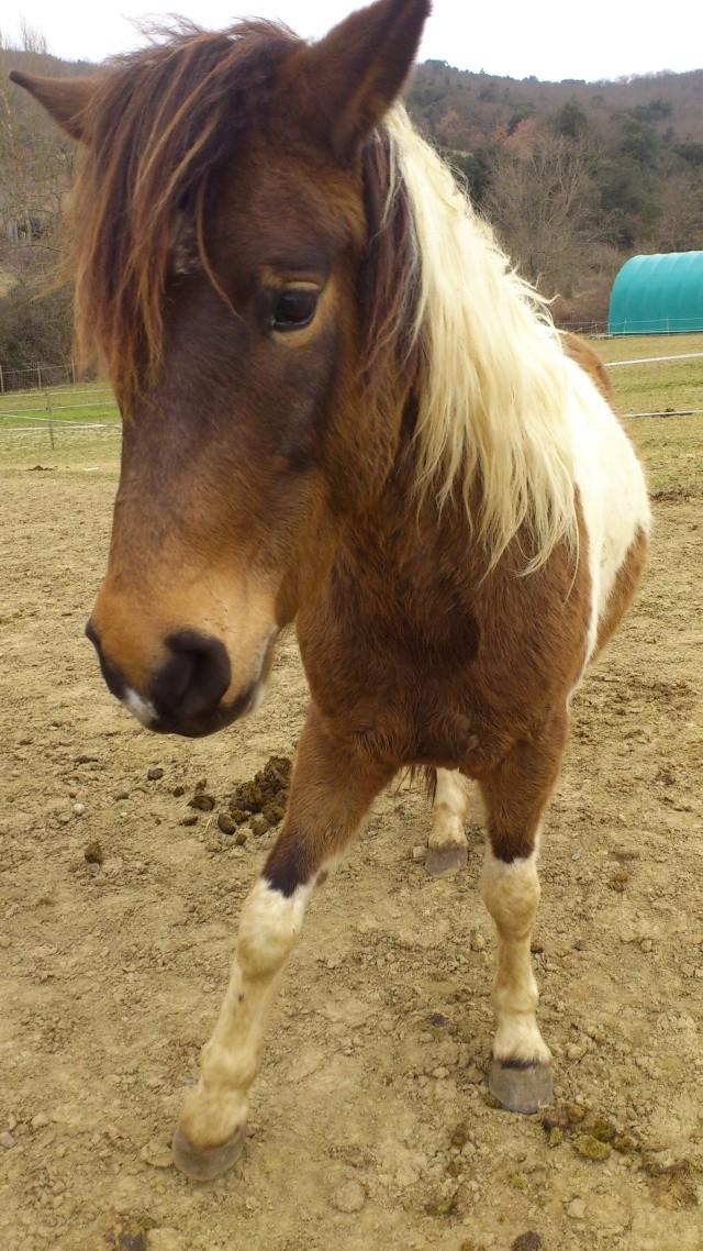 TIPI - ONC poney né en 2008 - adopté en avril 2010 par titan11 Tipi_310