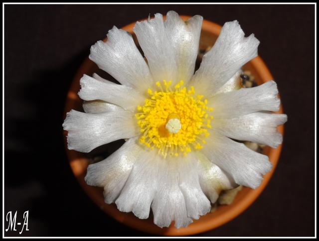 Tephrocactus articulatus Dsc00121