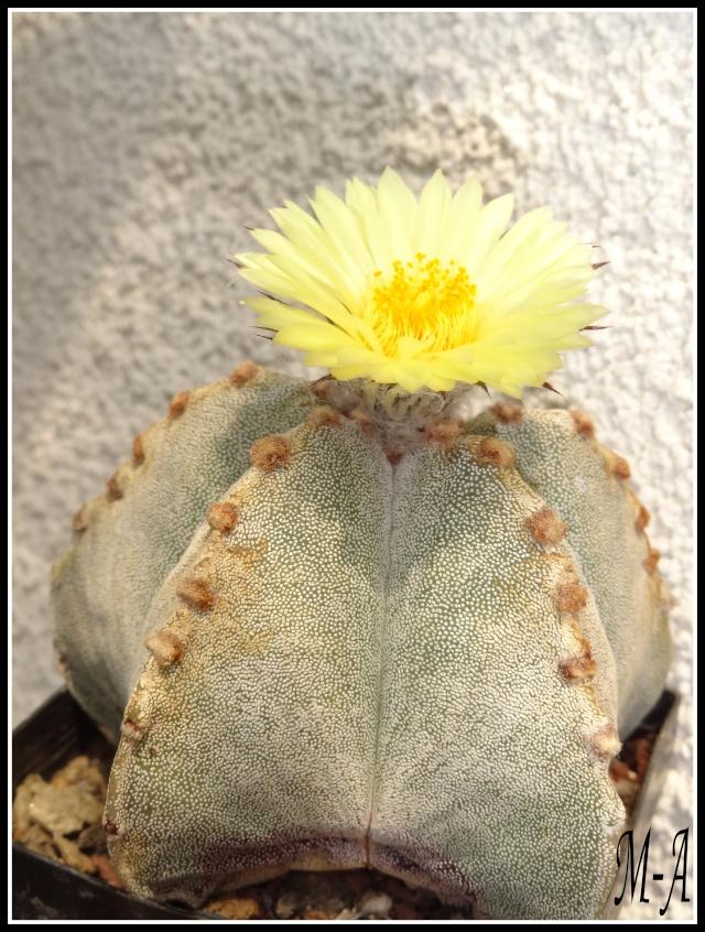 fleurs d'Astrophytum Dsc09819
