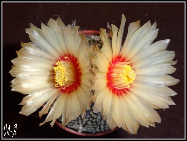 fleurs d'Astrophytum Dsc09910